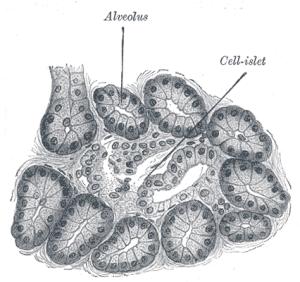 Dog pancreas