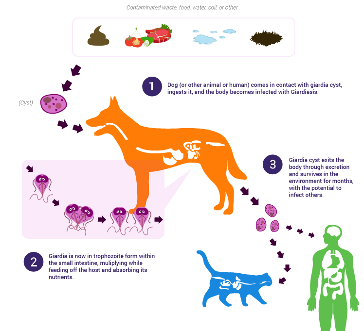 giardia parasite in dogs