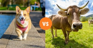 Dog vs cow manure