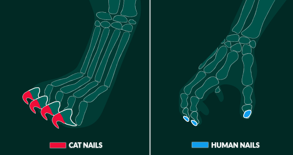 Declawing Cat