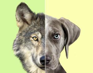 Wolf vs. Dog