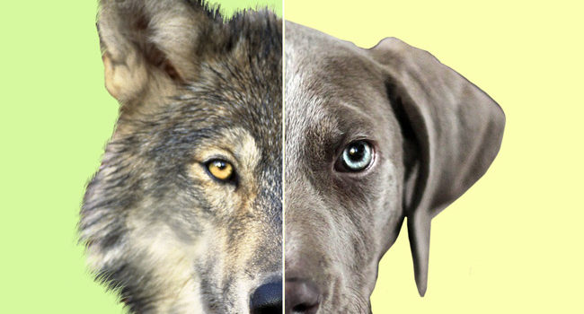 How the Dog Became the First Domesticated Animal