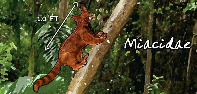 Miacidae