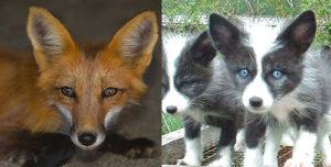 Wild vs Domesticated Fox