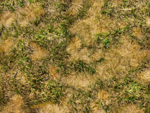 Dead patches of grass from dog urine